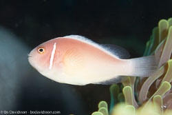 BD-141018-Komodo-5471-Amphiprion-perideraion.-Bleeker.-1855-[Pink-anemonefish.-Vitpannad-clownfisk].jpg